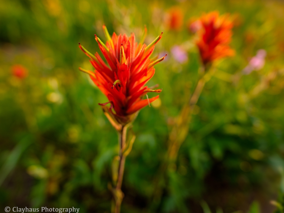 Rokinon 16mm and Indian Paintbrush